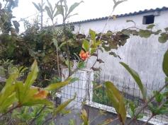 A flor da romãzeira que resistiu à tempestade