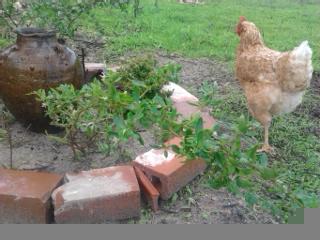 Canteiro guloso de Gojis e etc. com galinha curiosa a inspecionar