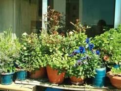Vasos alguns feitos por mim com flores e aromáticas frente à janela da cozinha