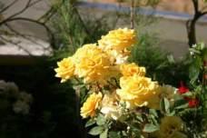 Roseiras anãs