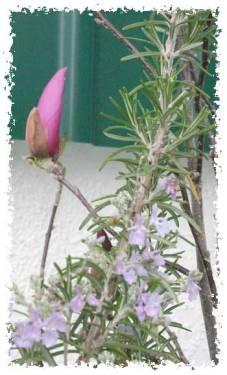 Magnólia de flores púrpura no quintal sul da casa do Montijo