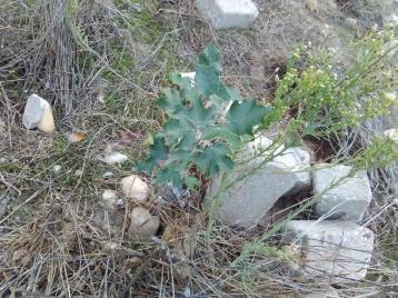 Choupo-Branco entre ervas