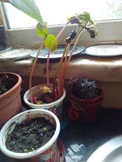 Mamonas depois de germinarem e sementes de Cambará