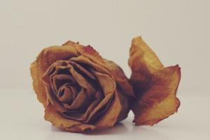 rose-1101140_960_720[1]