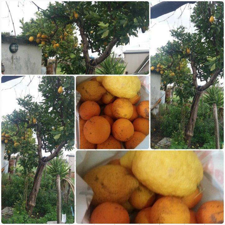 Limoeiro carregado e saco cheio de limões e laranjas de sumo